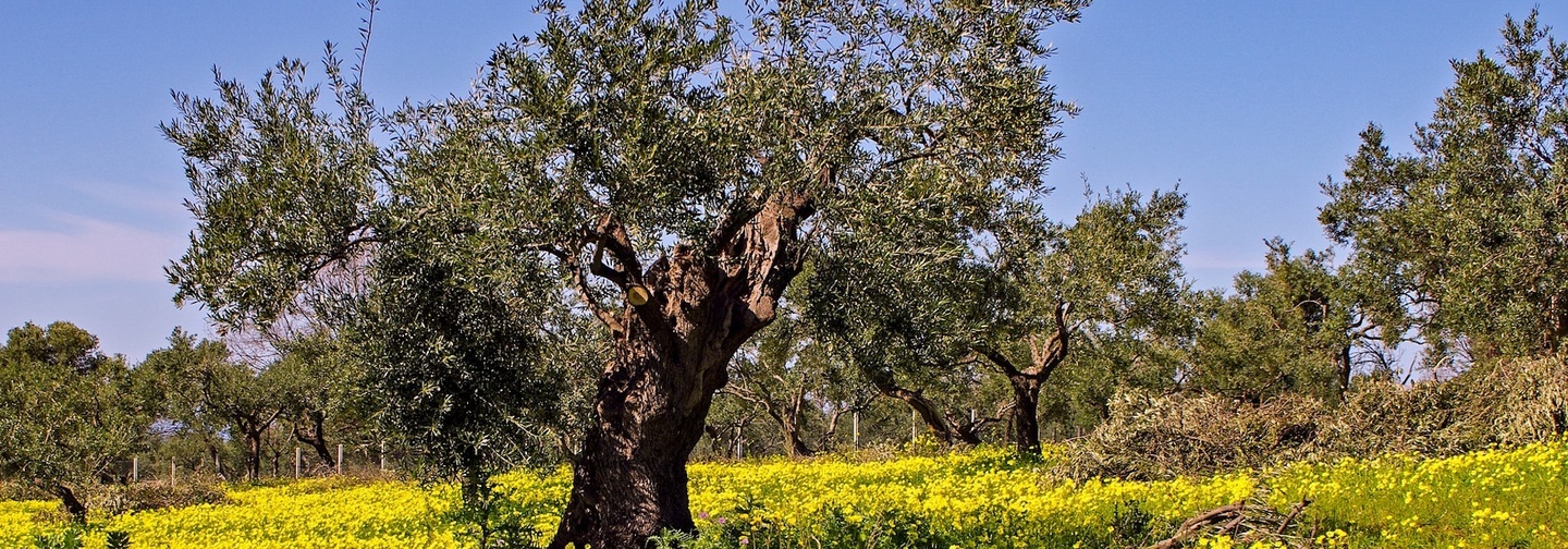 A Jerusalem olive tree in the ground